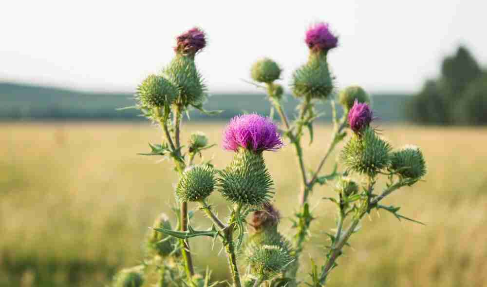 Herbal Medicine for Breast Cancer – Milk Thistle